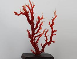 高知県産血赤珊瑚原木置物